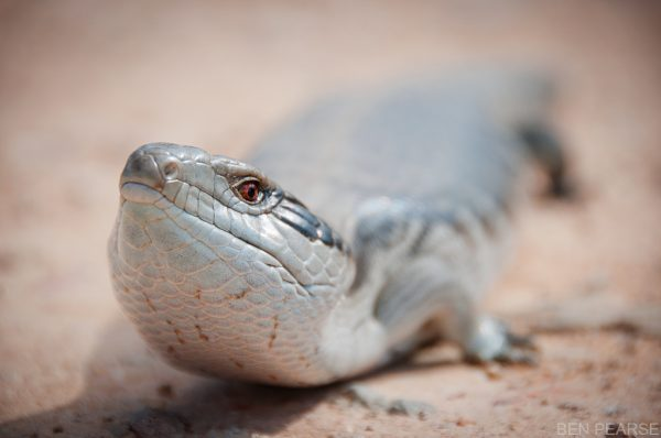 Blue tongued lizard - Ben Pearse photography
