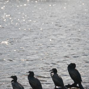 Cormorant lineup - Ben Pearse Photography