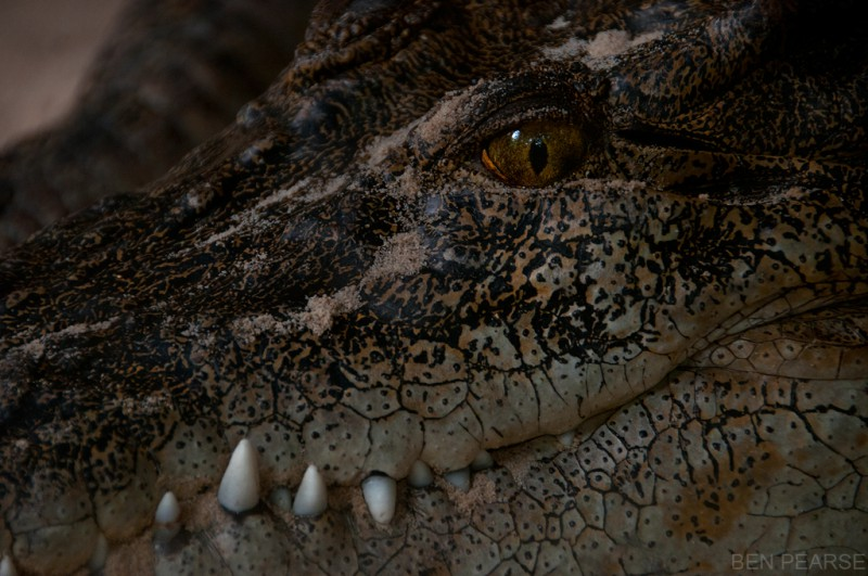 Crocodile - Ben Pearse Photography