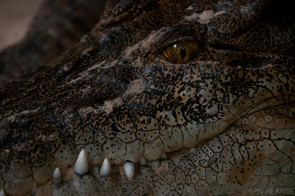 Crocodile - Ben Pearse Photography