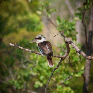 Kookaburra - Ben Pearse Photography