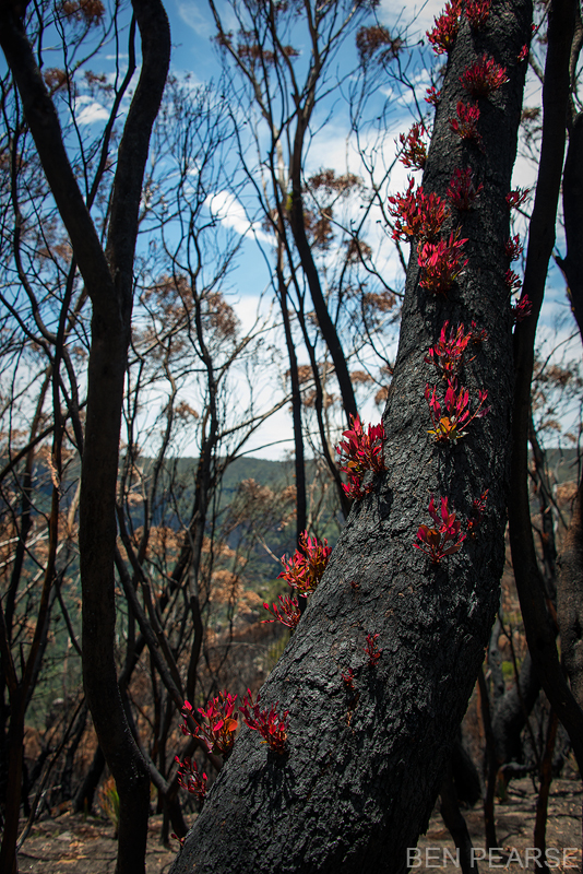 Regrowth after bushfires in the Blue Mountains