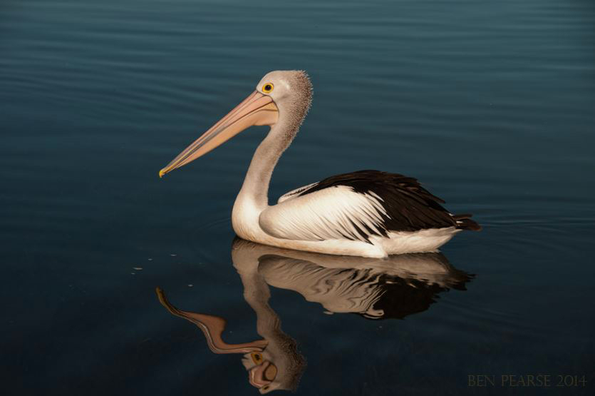 Pelican - Ben Pearse Photography
