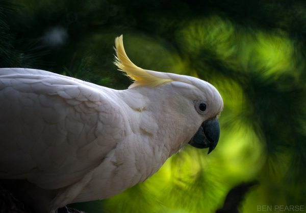 Sulfur Crested Cockatoo - Ben Pearse Photography