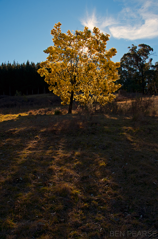 Wattle Tree - Ben Pearse Photography