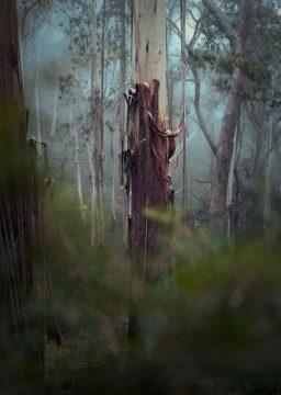 unframed Shedding Skins- Blue Mountains Ash Eucalypt